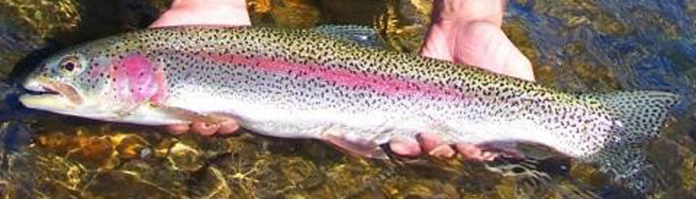 rainbow-trout-header