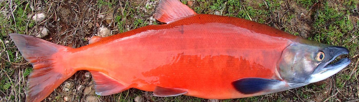 sockeye-salmon-header